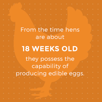 Hens Can Lay Eggs at 18 Weeks Old