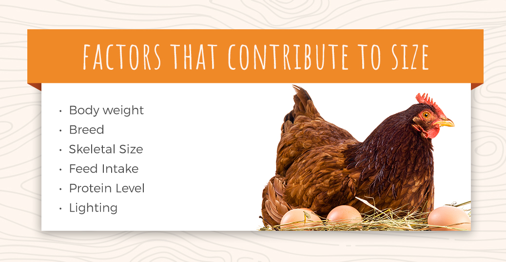 Factors That Contribute to Egg Size