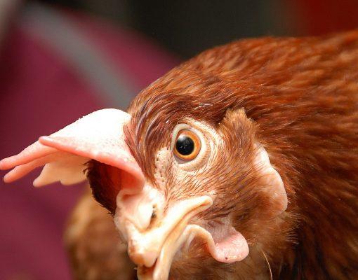 Elmer King Farm Brown Hen