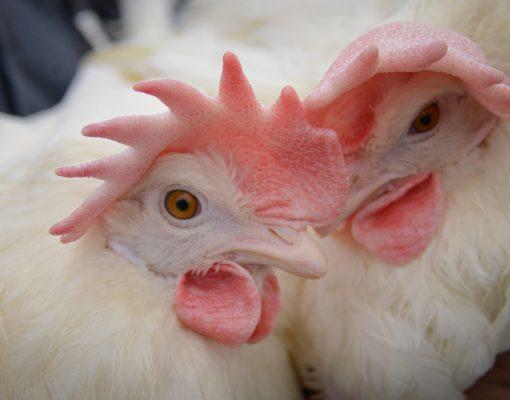 2 White Hens - Sunnyside Farms