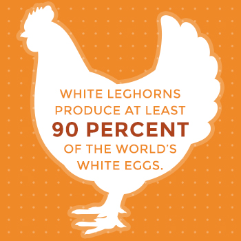 White Leghorn Hens Produce 90% of World's White Eggs