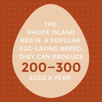 Rhode Island Red Hen Popularity