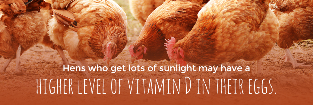 Hens In Sunlight Have Eggs with High Vitamin D