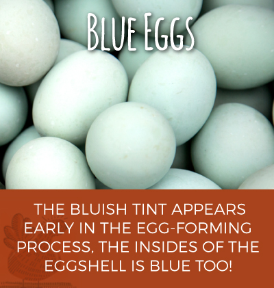 Bluish Tint Egg-Forming Process