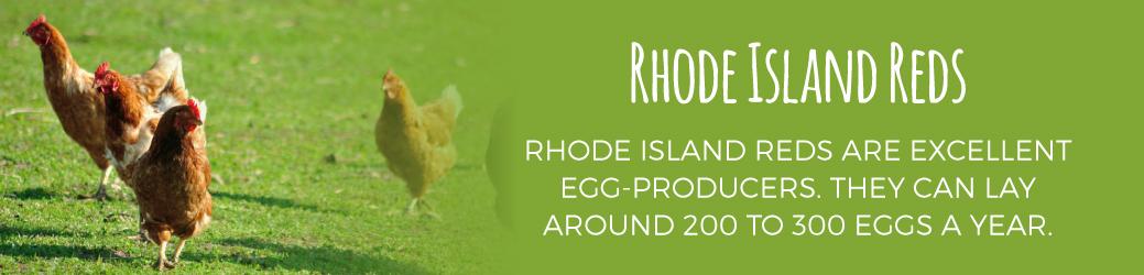 Rhode Island Reds