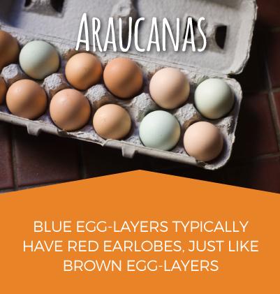 Araucanas Egg Layers