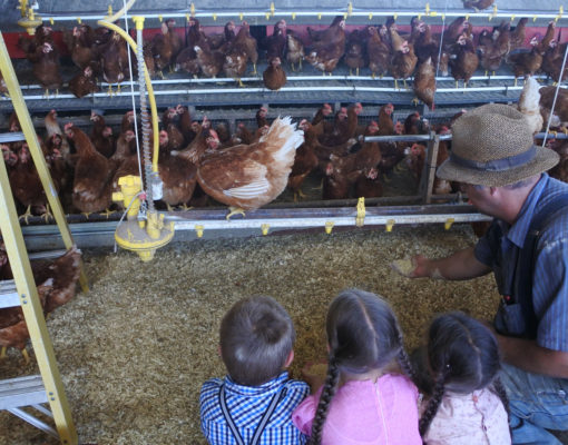 Feeding Brown Hens at Samuel Zimmerman Farm
