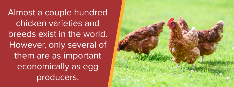 Almost a couple hundred chicken varieties and breeds exist in the world. However, only several of them are as important economically as egg producers.