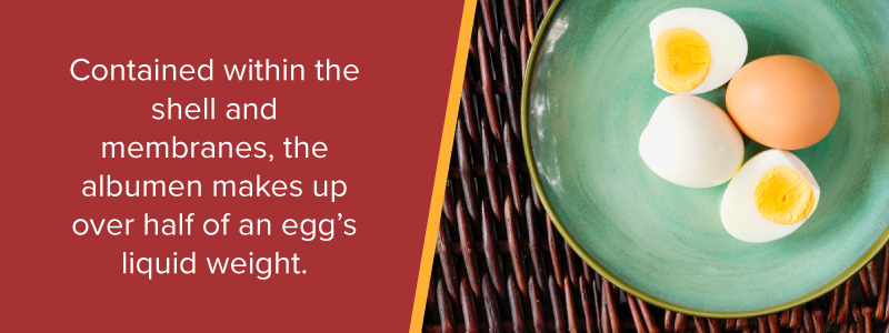Contained within the shell and membranes, the albumen makes up over half of an egg's liquid weight